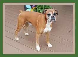 boxer dog quebec tanoak boxers breeder of boxer dogs ontario