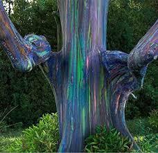 rainbow eucalyptus deglupta live seeds plants
