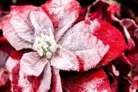 decorations and white poinsettia stock photo