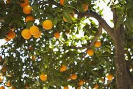 Transplant Fruit Trees - how to relocate citrus trees home guides sf gate