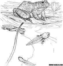 Pinterest Te 25 Den Fazla En Iyi Frog Coloring Pages Fikri Reptile Coloring Pages