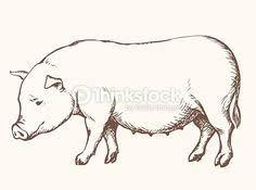 pigs drawing google pig drawings pigs