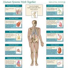 Human Anatomy Images Free Download Human Anatomy Pictures Pdf Motivationquote Co Motivationquote Co