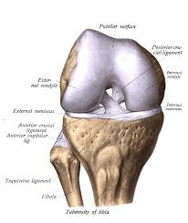 Anterior Fibular Ligament Ligamentul încrucișat Posterior Wikipedia