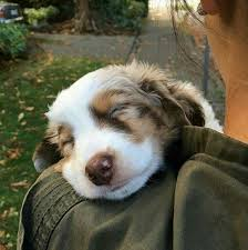 lonesum d australian shepherds 17 best images about dogs and puppies on pinterest puppys