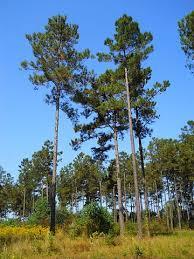 beware southern pine beetles atlanta tree professionals