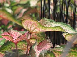 planting and growing caladium bulbs tips and information on