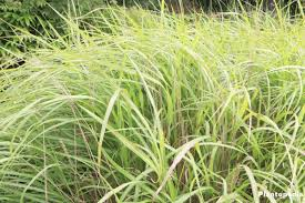 plants native to china miscanthus sinensis chinese silver grass plant care how to grow