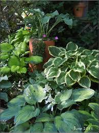 80 best hostas hearts in the garden images on pinterest hosta