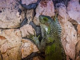 Iguana Island Free Images Wildlife Tropical Island Iguana Fauna Lizard