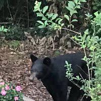 In Backyard Buford Couple Spots Bear In Backyard News Gwinnettdailypost Com
