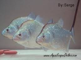 Aquascape Nj Aquascapeonline Online Fish Store That Sells Piranhas Stingrays