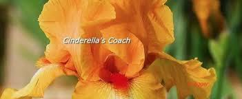 cinderella s coach bearded iris iris cinderella s coach