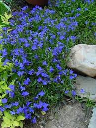 trailing lobelia always so pretty in the garden and in pots too