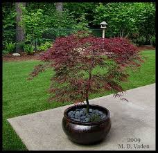 Potted Plant Ideas For Patio by Top 25 Best Trees In Pots Ideas On Pinterest Potted Trees
