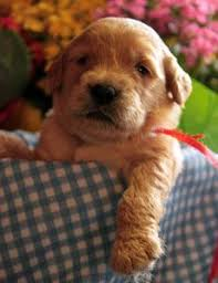 goldendoodle puppy virginia goldendoodles goldendoodle black puppies for sale