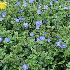 georgia native plants veronica peduncularis u0027georgia blue u0027creeping speedwell u2013 sunlight