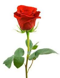 Rose Flower Images Rose Flower In Gujarat Manufacturers And Suppliers India