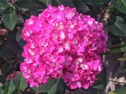 pink hydrangea how does it take to turn a pink hydrangea blue southern living