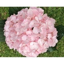 pink hydrangea light pink hydrangeas in bulk