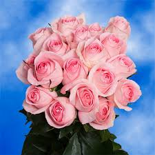 Global Roses Baby Pink Roses Luciano Roses For Sale Global Rose
