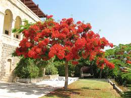 delonix regia seeds outdoor bonsai tree seeds of forest
