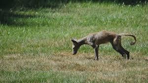 Coyote In My Backyard Viewers Sound Off On Mystery Animal Nbc4 Washington