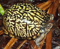 eastern box turtle terrapene carolina carolina family emydidae
