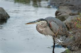 gret blue heron diary of a bird shooter