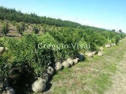 buxus sempervirens in vaso buxus sempervirens arborescens production and sale greggio vivai