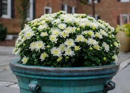 Picture Of Mums The Flowers - how to grow chrysanthemums in pots