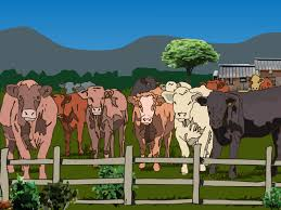 easy ways to tell the difference between bulls cows steers and