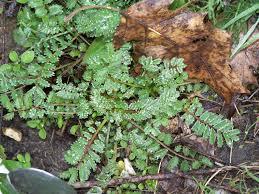 cuisine plantes sauvages comestibles zoom sur la consoude et la pimprenelle 2 plantes sauvages
