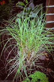 native plants for clay soil native grass u2014 heritage garden