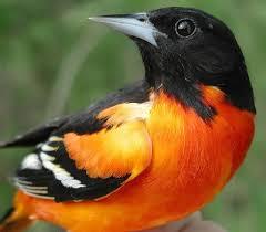 Maryland birds images State birds jpg