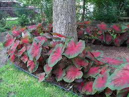 firecracker red caladiums bulbs sun tolerant caladiums with a