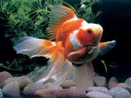 goldfish aquarium goldfish aquariums and