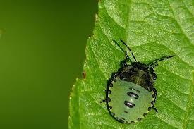 was ist das für ein insekt eine wanze oder was urlaub insekten insekt wanze