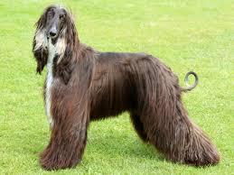 afghan hound in apartment the smartest dog breeds business insider