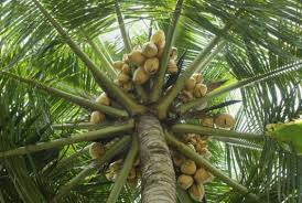 Palm Trees Fruit - tutti fruity goodness six multi purpose fruits and fruit trees