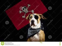 dog in halloween pirate costume stock photo image 79216151