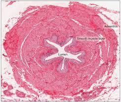 Urinary Bladder Anatomy And Physiology Gross Anatomy Of Urine Transport Anatomy And Physiology