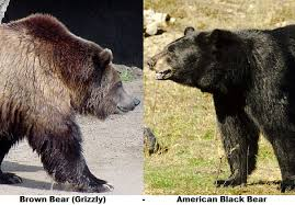 Are Bears Color Blind Black Bear Facts Animal Facts Encyclopedia