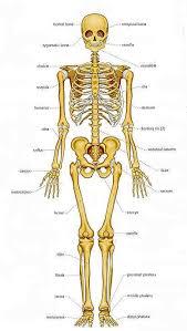 Anatomy Of The Human Body Bones How Many Total Bones In A Human Body Quora