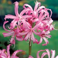 pink lilies pink spider direct gardening
