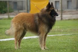 belgian shepherd ontario breeders news vom brook info