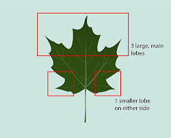 maple tree symbolism identify sugar maple trees maple syrup acer and syrup