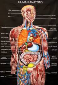 The Human Anatomy Muscles Human Anatomy Diagram Pictures Of The Human Anatomy Very Useful