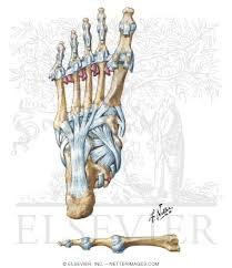Foot Ligament Anatomy Welcome To Netter Images