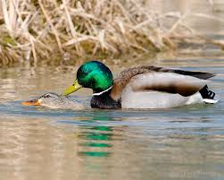 Mallard Duck Home Decor Mallard Ducks Mating